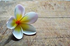 Witte bloem Frangipani Royalty-vrije Stock Afbeeldingen