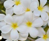 Witte bloem Frangipani Royalty-vrije Stock Foto's