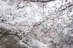 Witte bloem in Japan Stock Fotografie