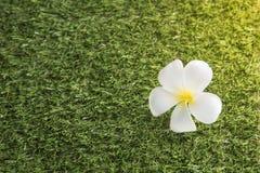 Witte bloem Leelawadee op het grasgebied, milieuconcept Royalty-vrije Stock Afbeelding