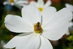 Witte bloem met bij op het Stock Fotografie