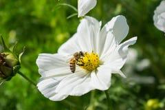 Witte bloem met bij op het Royalty-vrije Stock Foto's