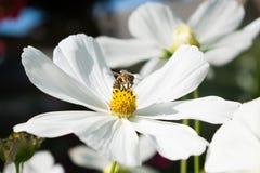 Witte bloem met bij op het Royalty-vrije Stock Afbeeldingen
