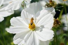 Witte bloem met bij op het Royalty-vrije Stock Foto