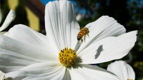 Witte bloem met bij tijdens de vlucht Royalty-vrije Stock Fotografie