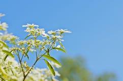 Witte bloem met blauwe hemel Stock Afbeeldingen