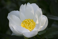Witte bloem met geel centrum Stock Foto