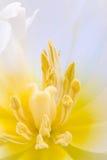 Witte bloem met gele pestiles royalty-vrije stock afbeelding