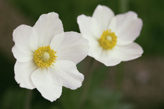 Witte bloem met groen Stock Afbeeldingen