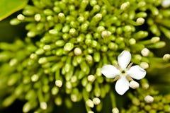 Witte bloem met groene achtergrond Royalty-vrije Stock Foto