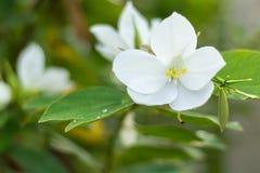 Witte bloem met groene bladeren op vage achtergrond Royalty-vrije Stock Afbeeldingen