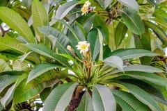 Witte bloem met groot groen bladerenclose-up royalty-vrije stock foto