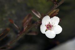 Witte bloem op boom Stock Afbeelding
