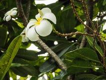 Witte bloem op boom Stock Fotografie