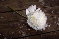 Witte bloem op een houten achtergrond Stock Afbeelding
