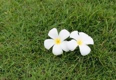 Witte bloem op gras Royalty-vrije Stock Afbeeldingen