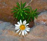 Witte bloem op rots Royalty-vrije Stock Afbeelding