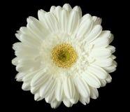 Witte bloem op zwarte Stock Afbeeldingen