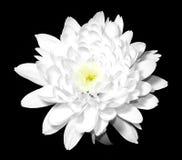 Witte bloem op zwarte royalty-vrije stock foto