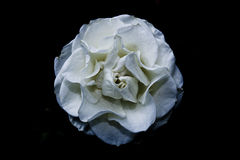 Witte bloem op zwarte achtergrond Royalty-vrije Stock Foto's