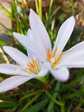 witte bloem in regenachtig seizoen met koude dagen royalty-vrije stock afbeelding
