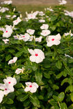 Witte bloem in tuin royalty-vrije stock afbeelding