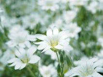 Witte bloem in tuin Gebied van kleine witte bloemen die met zachte nadruk schieten Verse wilde bloemen voor romantisch en eco Stock Foto's
