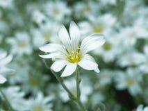 Witte bloem in tuin Gebied van kleine witte bloemen die met zachte nadruk schieten Verse wilde bloemen voor romantisch en eco Stock Afbeeldingen