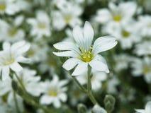 Witte bloem in tuin Gebied van kleine witte bloemen die met zachte nadruk schieten Verse wilde bloemen voor romantisch en eco Royalty-vrije Stock Afbeelding