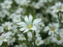 Witte bloem in tuin Gebied van kleine witte bloemen die met zachte nadruk schieten Verse wilde bloemen voor romantisch en eco Royalty-vrije Stock Foto
