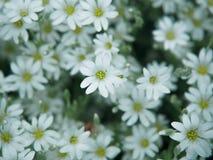 Witte bloem in tuin Gebied van kleine witte bloemen die met zachte nadruk schieten Verse wilde bloemen voor romantisch en eco Royalty-vrije Stock Foto's