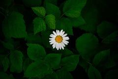 Witte bloem tussen groene varenbladeren Stock Foto