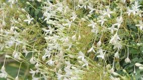 Witte bloem van Cork Tree stock video