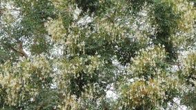 Witte bloem van Cork Tree stock footage