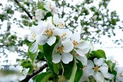 Witte bloem van een boom macroschot stock foto's