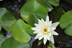 Witte bloem van lotusbloem Royalty-vrije Stock Afbeeldingen