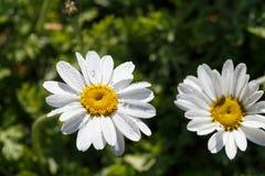 Witte bloem van margriet Royalty-vrije Stock Afbeeldingen