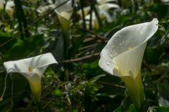 Witte bloem van Zantedeschia-aethiopica ( Calla Lelie stock afbeelding