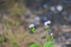 Witte bloembloei klein op de boom Royalty-vrije Stock Foto