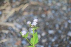 Witte bloembloei klein op de boom Stock Foto