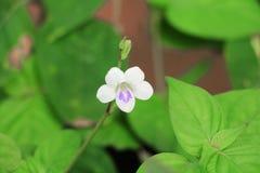 Witte bloembloei klein op de gras mooie abstracte achtergrond Stock Afbeeldingen