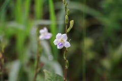 witte bloembloei klein op de gras mooie samenvatting backgr Royalty-vrije Stock Foto's