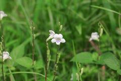 Witte bloembloei klein op het gras Royalty-vrije Stock Fotografie