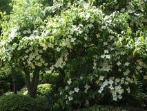 Witte bloemboom Stock Foto