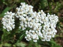 Witte Bloemcluster Royalty-vrije Stock Foto's