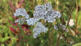 Witte bloemen stock videobeelden