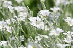 Witte bloemen Royalty-vrije Stock Afbeelding