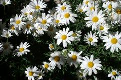 Witte bloemen Royalty-vrije Stock Foto's