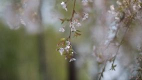 Witte bloemen stock footage