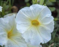 Witte bloemen Stock Afbeeldingen